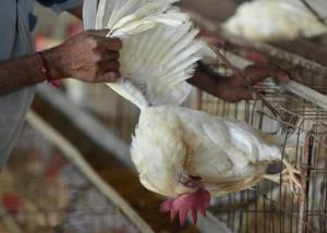 ليتوانيا تبلغ عن ظهور لسلالة (إتش5إن8) من إنفلونزا الطيور